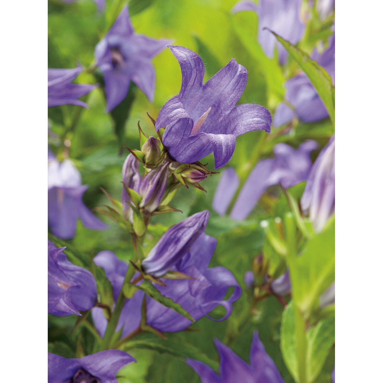 0aa850626 OBI Zvonček širokolistý fialový priemer kvetináča cca 9 cm x 9 cm ...